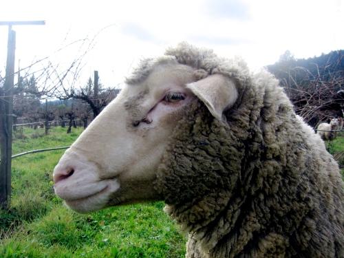 Mendocino Organics sheep @ Frey Vineyards