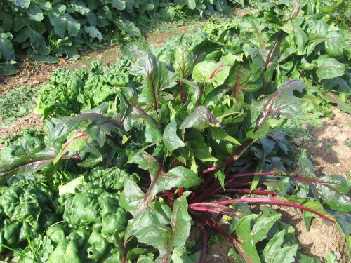 tyee spinach