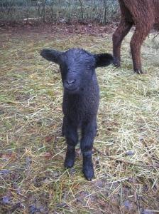 a newborn lamb (a twin, too)