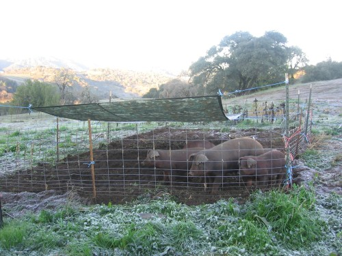 Pigs recently moved to a pen in the summer garden