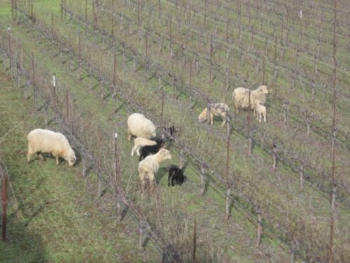 sheep-at-fairbairn