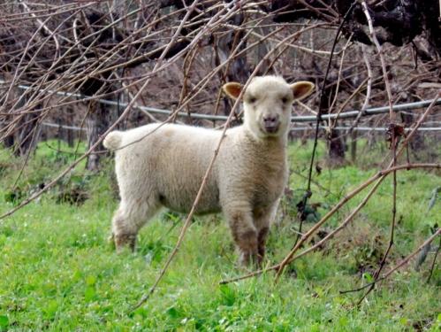 sheep-pic