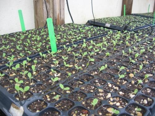 lettuce-seedlings-feb-09