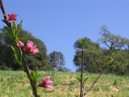 peach blossom at the garden site