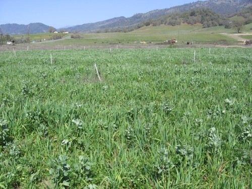 Hale Ranch, tall cover crop.