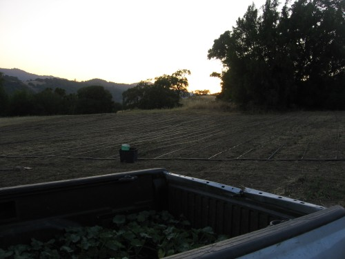 The winter squash & pumpkin field right after laying the irrigation drip lines and right before planting.