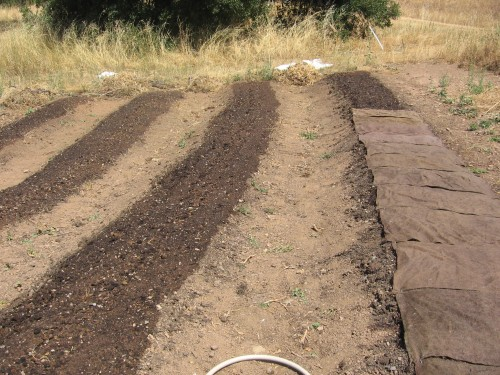 To keep the newly planted carrot seeds moist (and to help germination), we cover the watered beds with soaking burlap. We have to make sure the beds remain moist.