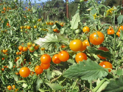 we have loads & loads of sungold tomatoes! They are so fruity and sweet. Get them at the Saturday Farmers Market for $3/pint or 2 pints for $5