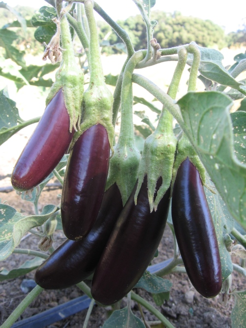 These are Little Finger eggplant. We also have Black Beauty, Nadia, and Rosa Bianca eggplant. Also at the Farmers Market, $3/pound.