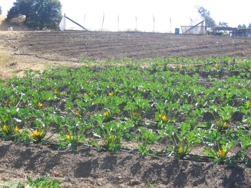Here is one of our zucchini patches. Our Raven (green) and Sebring (bright yellow) zucchini is so flavorful. Get a deal on them at the Farmers Market - $1/pound. (Winter crops have been transplanted into the section in the background.)