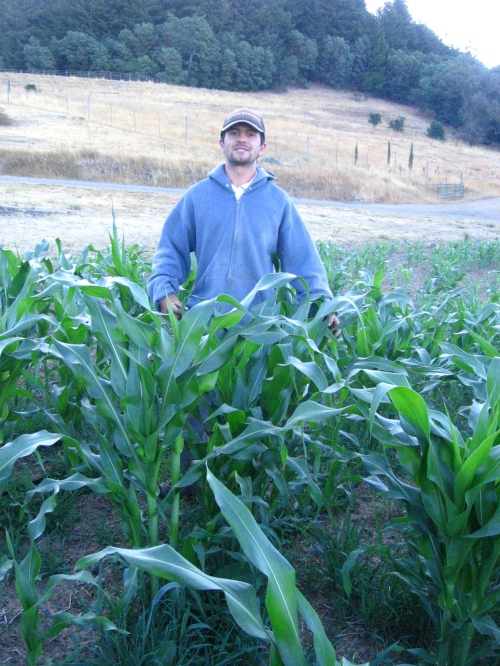 Adam standing amongst our open-pollinated Nokomis Gold feed corn.