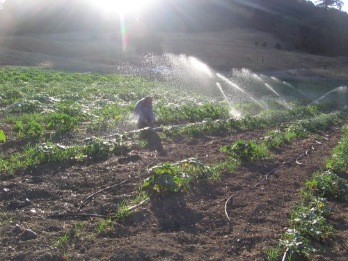 watering the squash. unclogging one of the sprinklers.