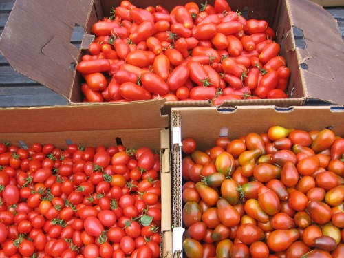 San Marzano, Principe Borghese, & Black Plum tomatoes going to Bar Agricole for canning