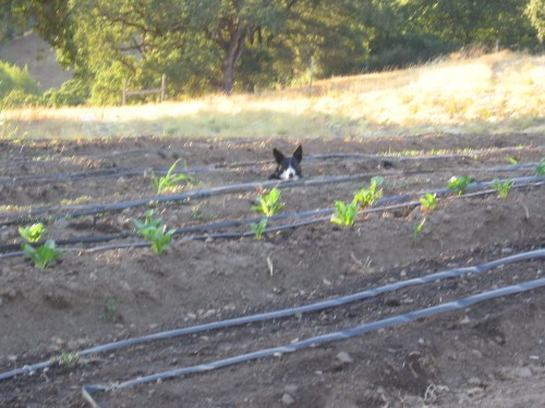 Ziggy scopes out the view from between the vegetable beds.