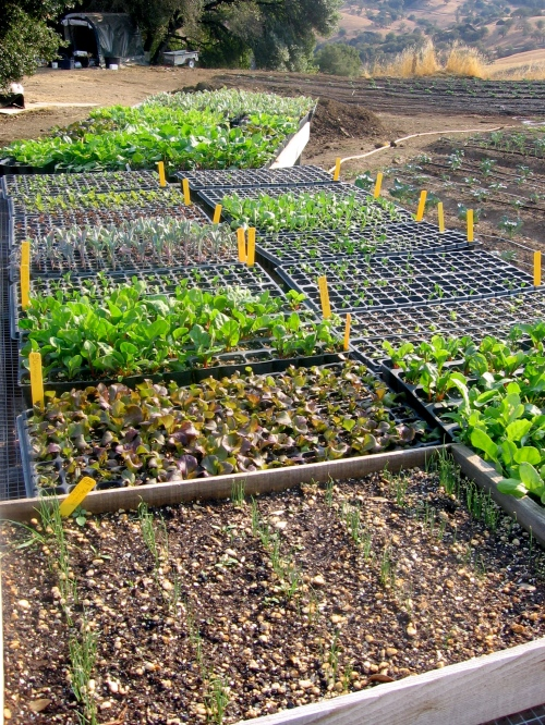 Succession planting is underway with more seedling trays of leeks, lettuce, chard, Asian greens, chicory, broccoli...
