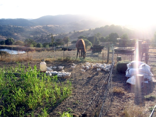 The last batch of broiler chickens for this season are pasturing next to the horses and young cows.