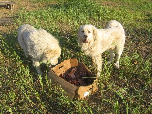 Alesander & Beaumont are guarding the broiler chickens. They enjoy raw meat scraps for dinner.