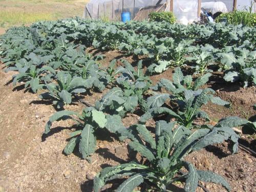lacinato kale, broccoli