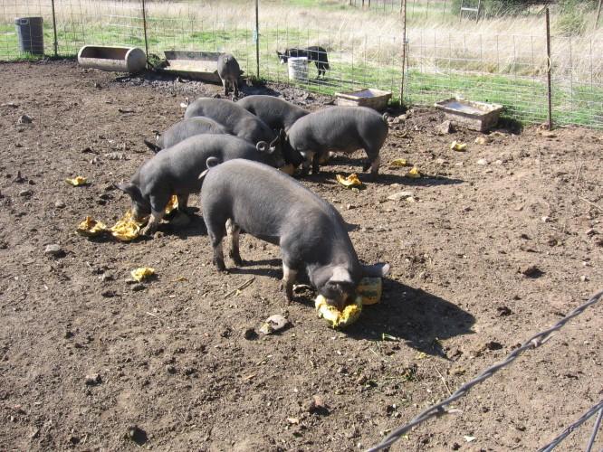pigs eating pumpkins