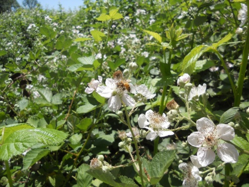 A bee buzzing among blackberry blossoms in Potter Valley.