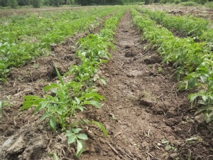 Potatoes growing in Potter Valley