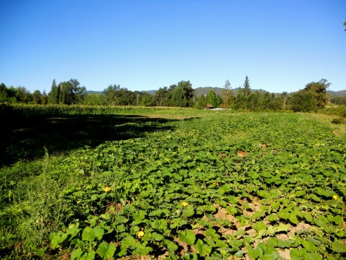winter squash, melons, watermelons in early August