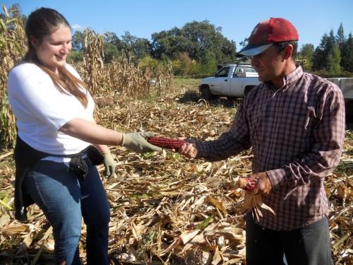 corn harvest 4