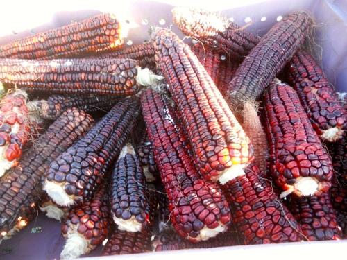 corn harvest 5