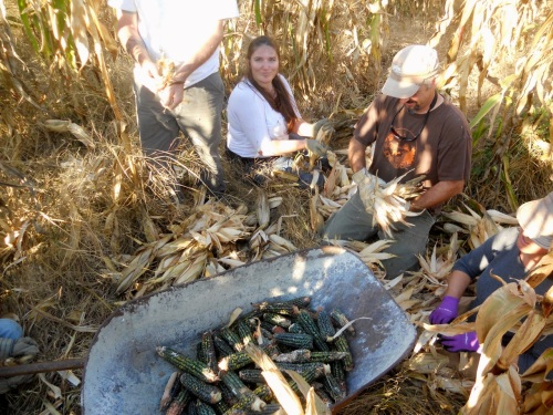 corn harvest 6