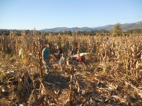 corn harvest 8
