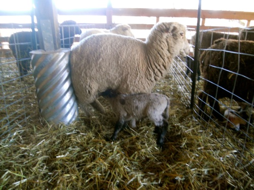 big lamb nursing
