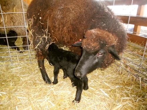 colored ewe and lamb in jug
