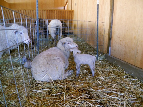 ewe and lamb in jug