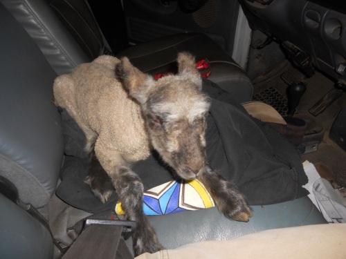lamb in truck