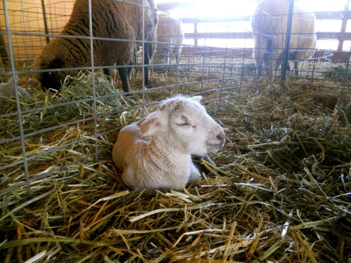 lamb resting 1
