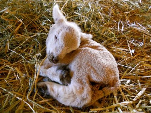 lamb resting 2