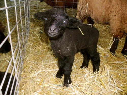 smiling black lamb