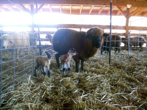 twin lambs dec 13