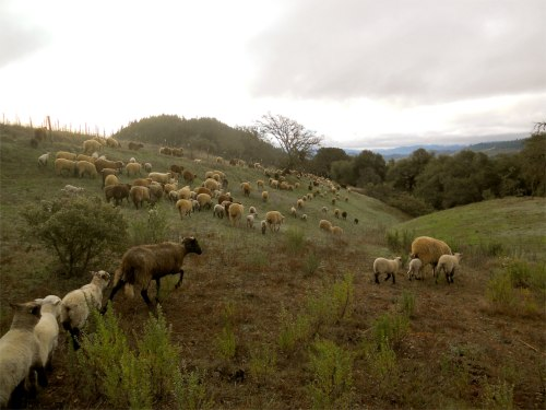 sheep herding 1