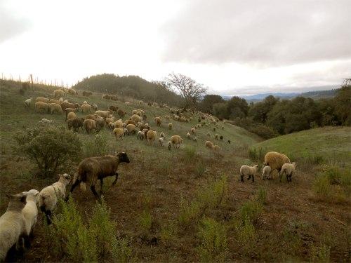 sheep herding 1