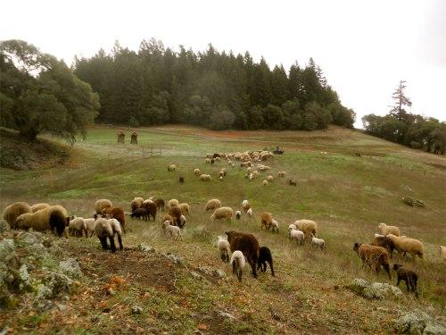 sheep herding 2