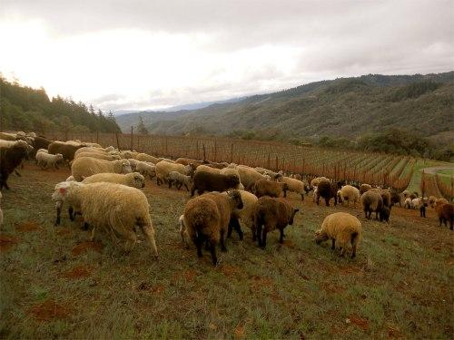 sheep herding 3