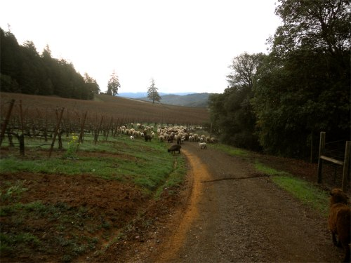 sheep herding 4