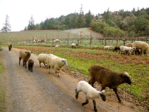sheep herding 5