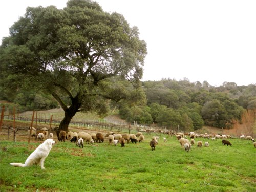 sheep herding 6