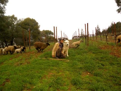 sheep herding 7